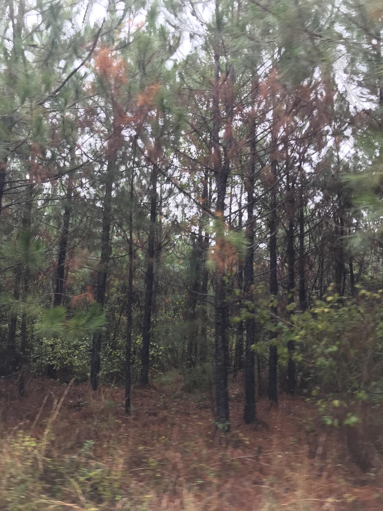 Bundick Lake Tract, Beauregard Parish, 50 Acres +/- Waterfront Pine Plantation