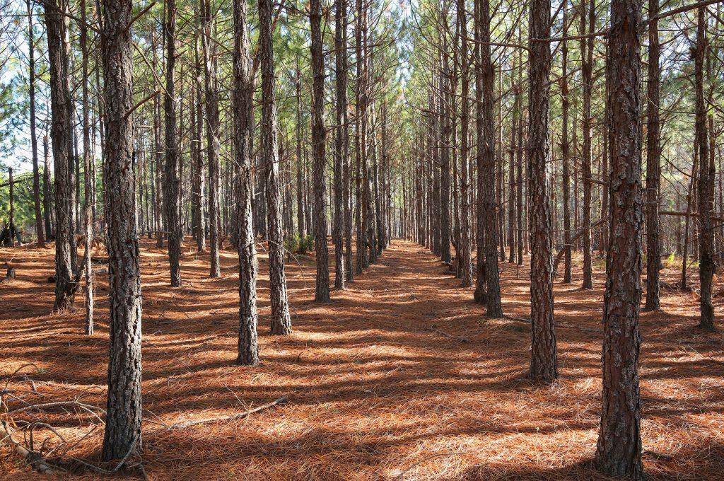 Louisiana Pine Plantation for Sale