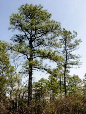Louisiana Timberland Investment